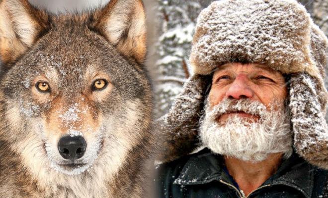 Лесник отпустил волка в тайге, а через год волк пришел помочь, когда мужчина заблудился
