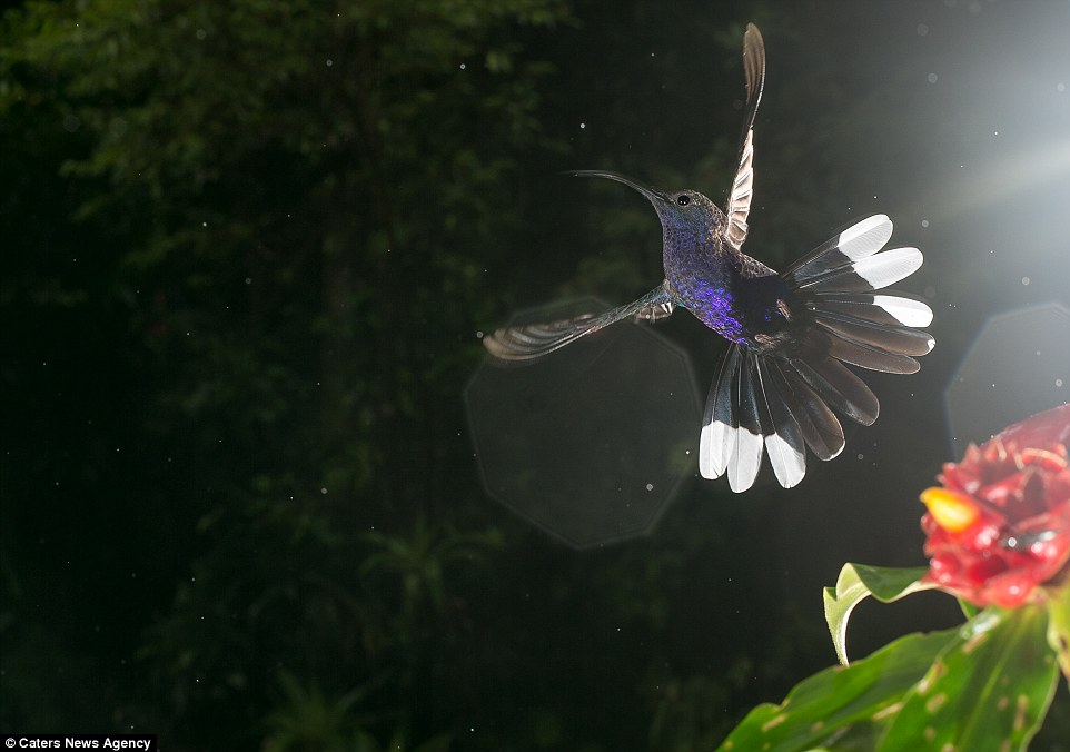 Like an angel: A beautiful purple hummingbird spreads its wings as spots of light artistically glint across the camera lens