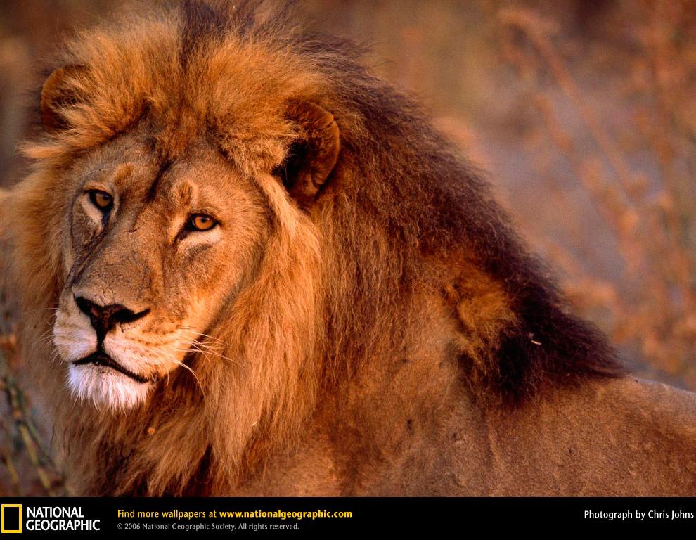 Большие кошки от National Geographic животные