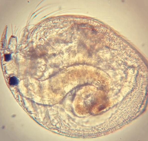 Водяная блоха — обычный обитатель пресной воды в мире, интересно, под микроскопом, познавательно, фото