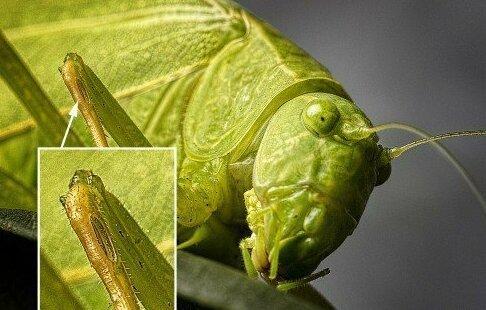 7. У кузнечиков уши находятся на лапках Скарабей, жуки, крылья, муха, насекомые, стрекоза, факты
