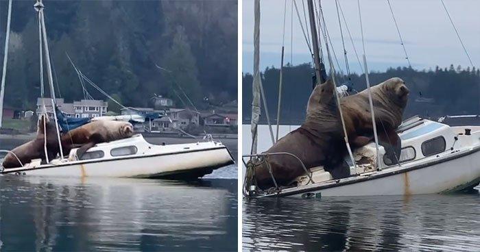 Два гигантских морских льва «одолжили» лодку покататься