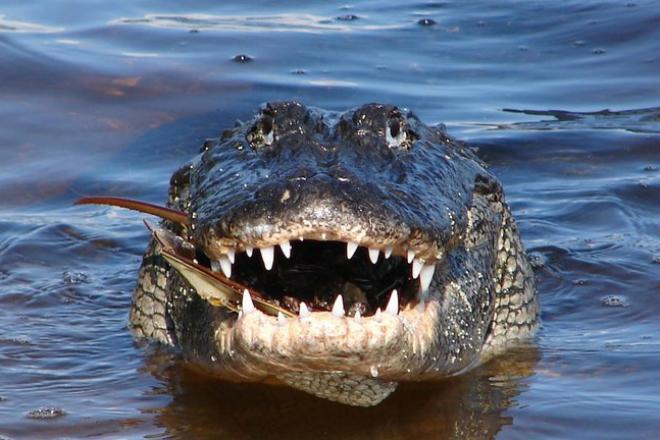 Схватка гигантских аллигаторов закончилась жутким пиром прямо на глазах пораженных туристов. Видео