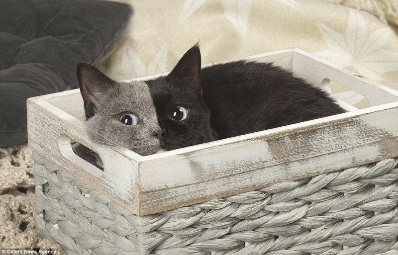 Эта очаровательная кошка британской короткошерстной породы из Франции родилась с необычным окрасом в мире, животные, коты, кошка, окрас кошек, уникально, фото, шерсть