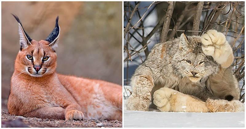 17 кошек, о существовании которых вы скорее всего не знали