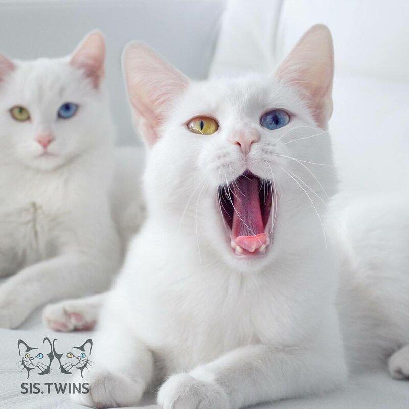 Они ведут себя как обычные кошки, хоть их уже можно назвать звёздами Абисс, Айрис, глаза, кошка, красота, окрас