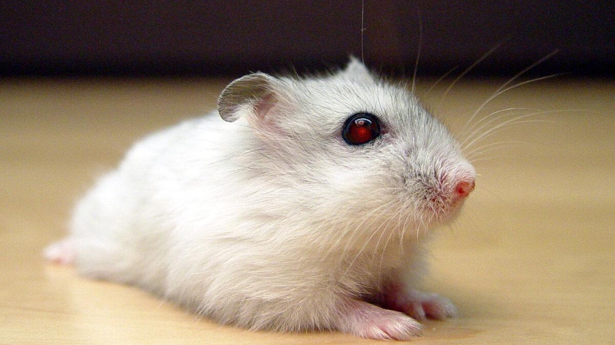 Хомяк как биооружие: болезни из зоомагазина домашние животные,животные,здоровье,питомцы