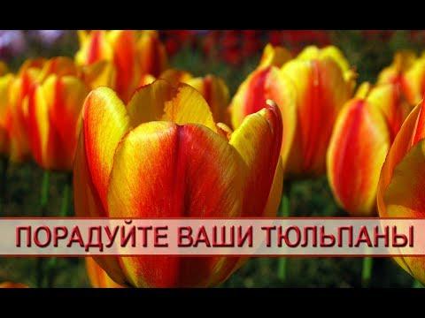 Порадуйте свои тюльпаны!