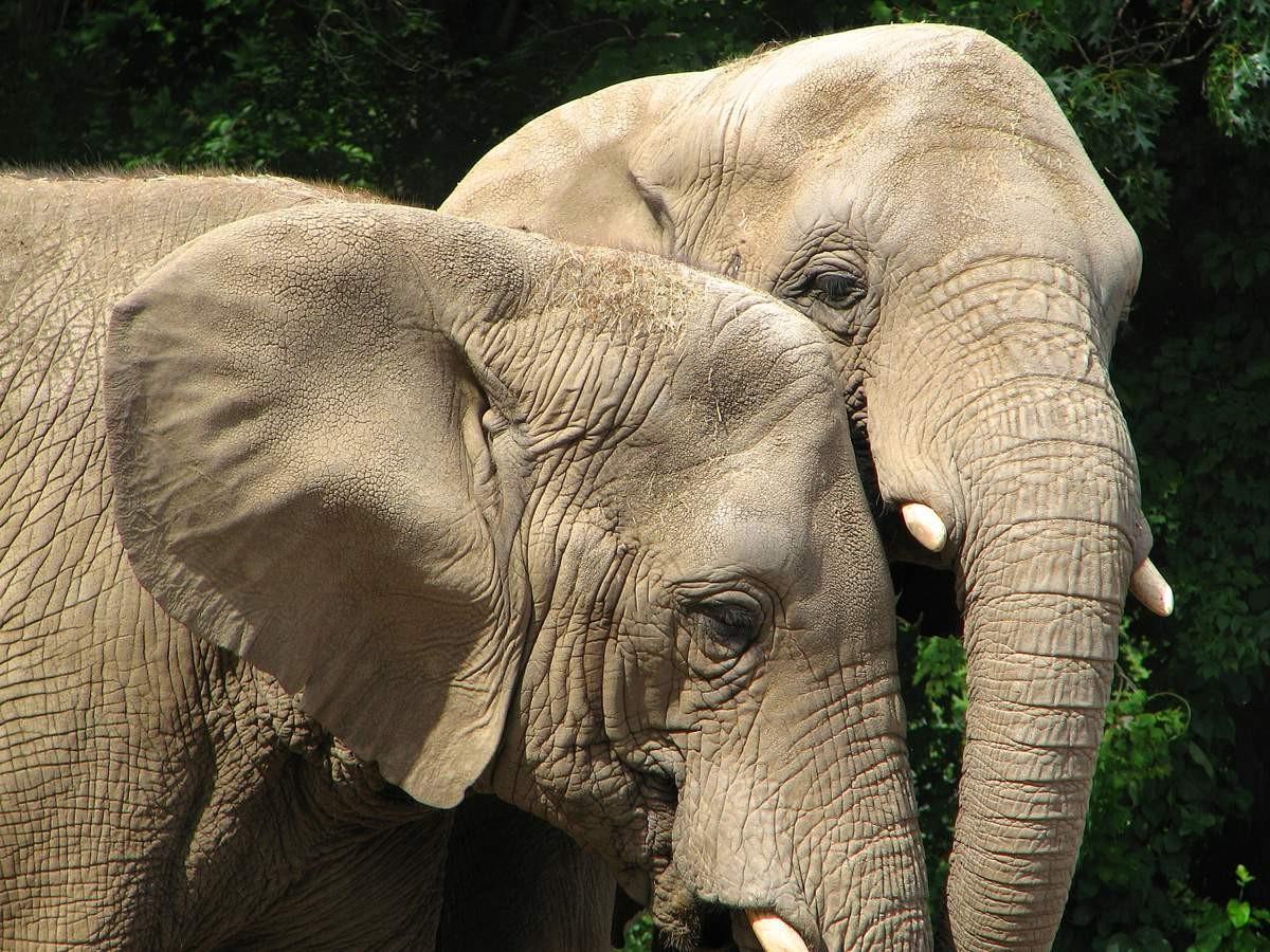 """Слоны любят """"ушами"""", выяснили ученые. Самцы выбирают самок по голосу"""