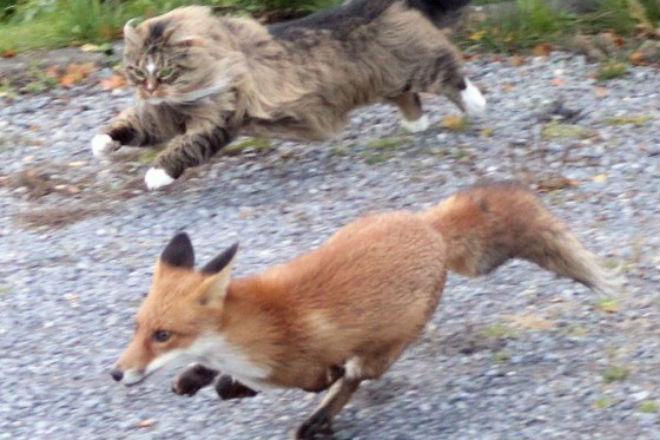 Лиса пришла поживиться во двор и столкнулась со сторожевым котом