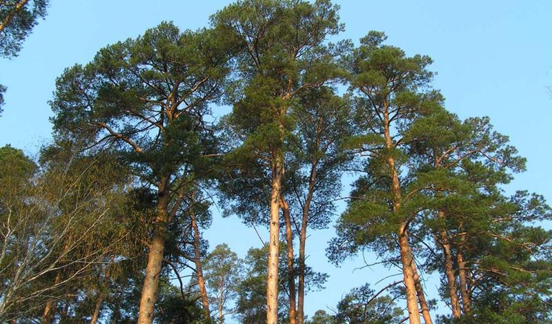 Деревья, которые сохранят жизнь в сложной ситуации