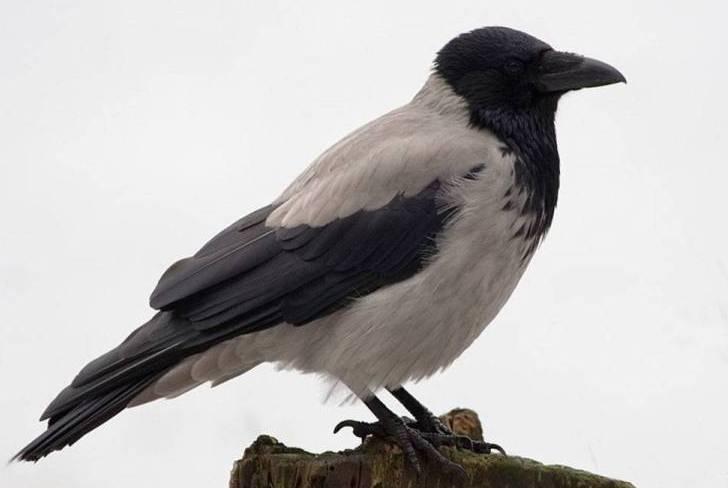 Как ворона со стаей гусей отправилась в южные края, и что из этого получилось…