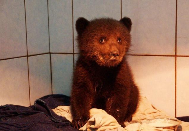 В Ленобласти спасли медвежонка, который потерял маму