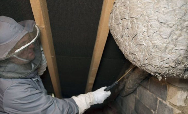 Огромные ульи ос, найденные в жилых домах