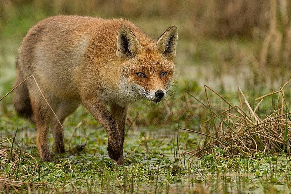 На границах жилых кварталов так много вкусного для лисиц