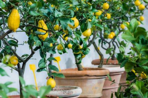 САД, ЦВЕТНИК И ОГОРОД. Как вырастить лимон в условиях дома