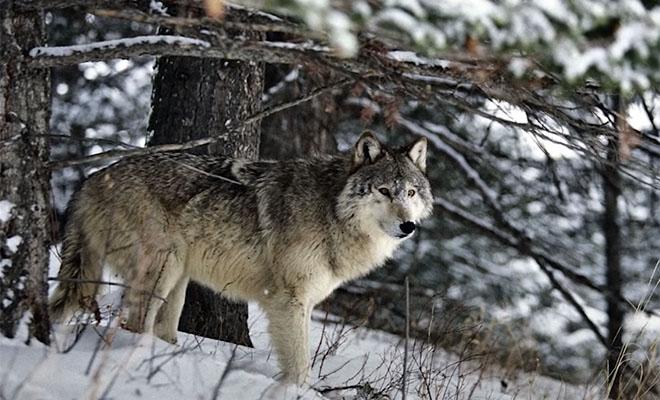 К жене лесника пришел волк и показал куда несколько дней назад исчез ее муж: видео