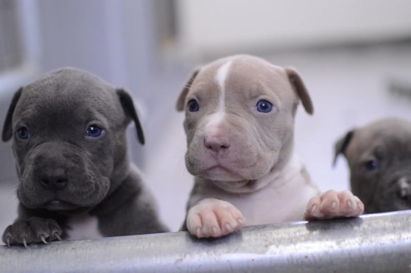 17 малоизвестных причин, почему щенки питбуля — самые опасные бестии на Земле домашний питомец, животные, милота, питбуль, причина, собака, щенки