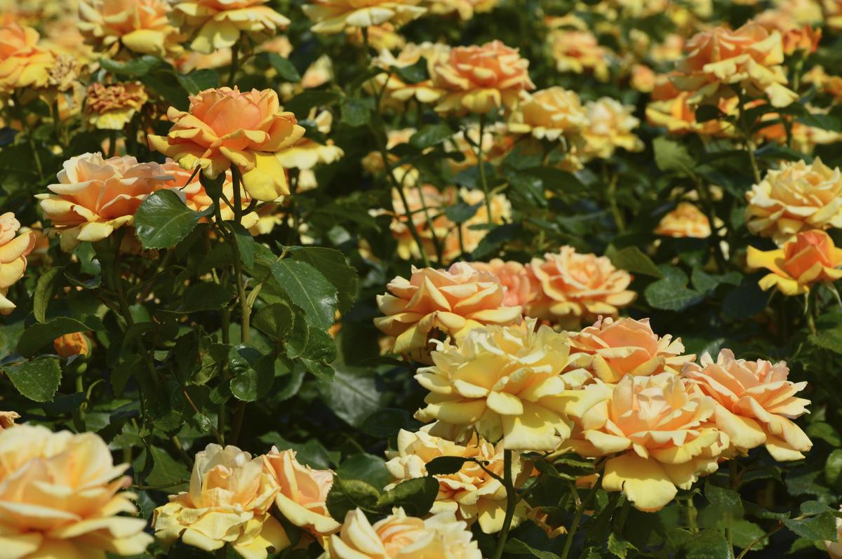 Почему не цветут розы: 7 возможных причин дача,сад и огород,цветоводство