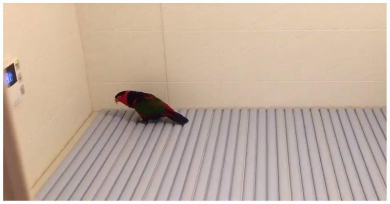 Смешная реакция попугая на новую поверхность