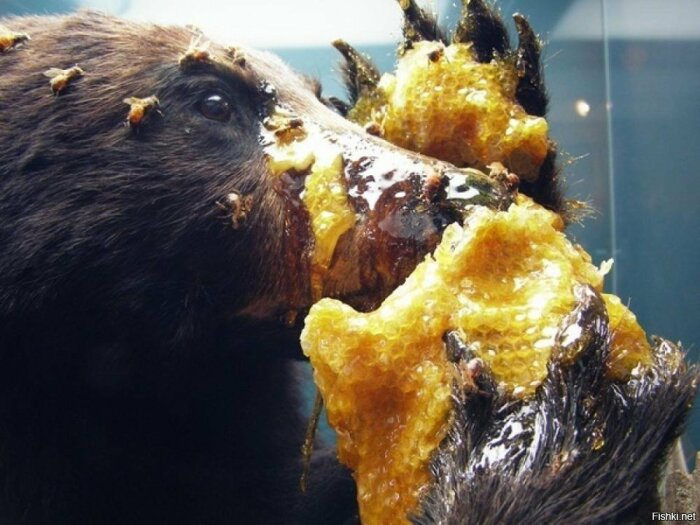 Мед действительно медведи едят. |Фото: frognews.ru.