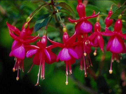 Фуксия в саду: секреты выращивания и размножения, организация зимовки