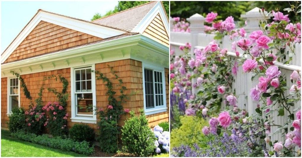 Плетистые розы — аристократическая красавица в Вашем саду