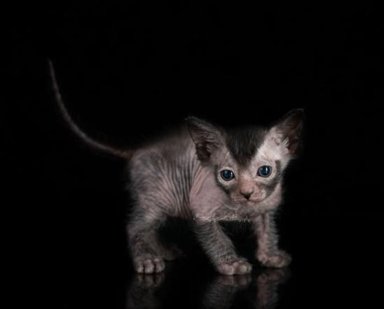 Ликой или Кот-оборотень: особенности породы