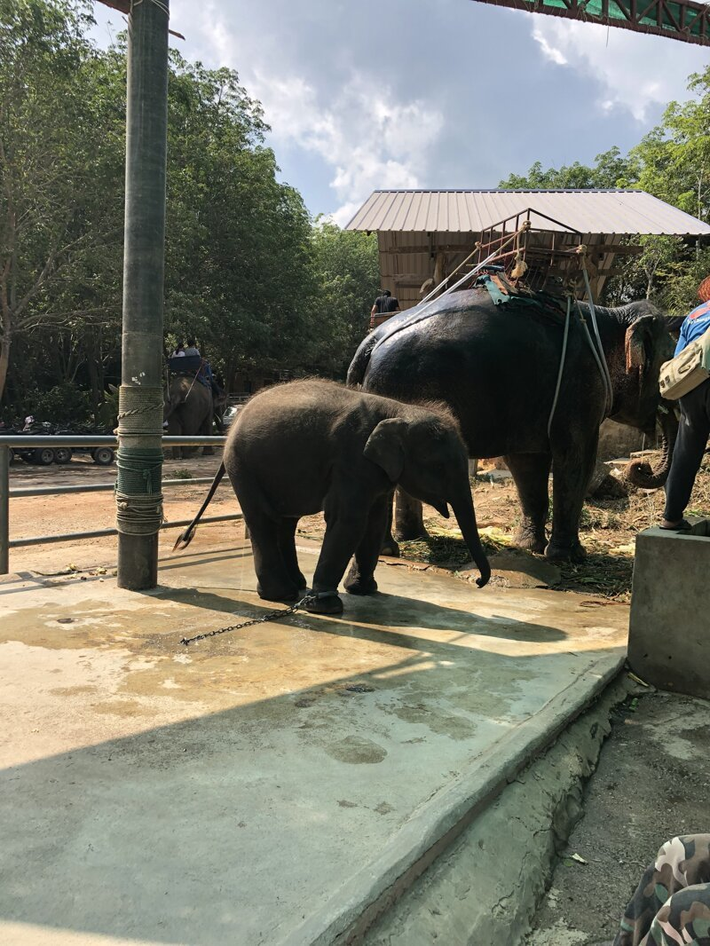 Слоновья ферма азия, море, отдых, путешествие, пхукет, тайланд, экзотика