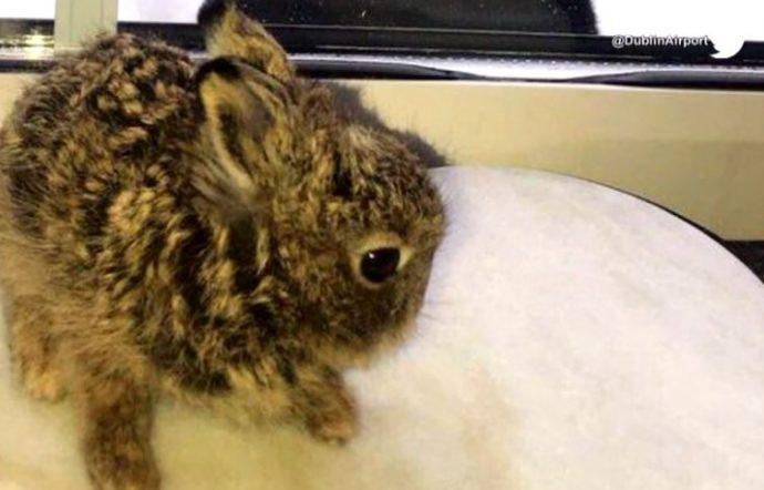 Крошечная зайчиха потеряла семью и беспомощно бегала по снегу с оледеневшей шерстью… Пока ее не нашли в аэропорту