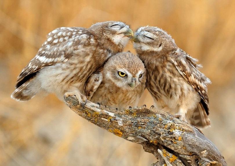Лучше сов могут быть только совы! Забавная подборка