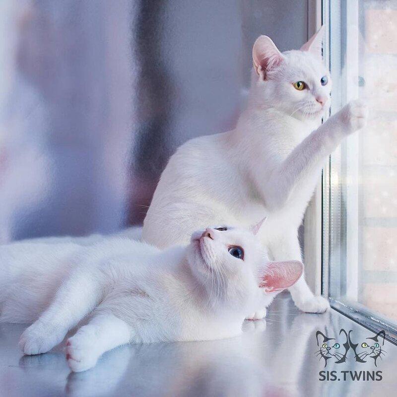 Хозяин создал для них аккаунт в Инстаграме, чтобы любой мог наблюдать за их жизнью Абисс, Айрис, глаза, кошка, красота, окрас