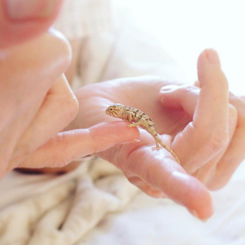 Девушка разводит хамелеонов в обычной квартире домашнее животное, питомец, хамелеон