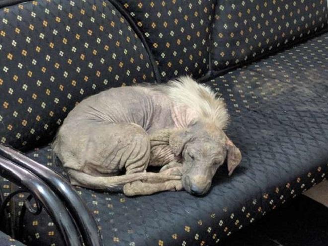 Больная и жалкая, собака уснула на диване, не зная, что здесь ее уже ждет счастливое будущее