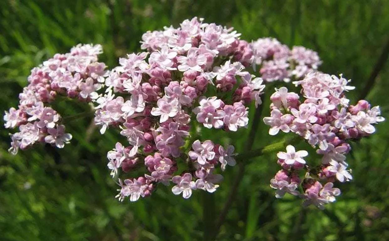 Валериана лекарственная: растение для здоровья