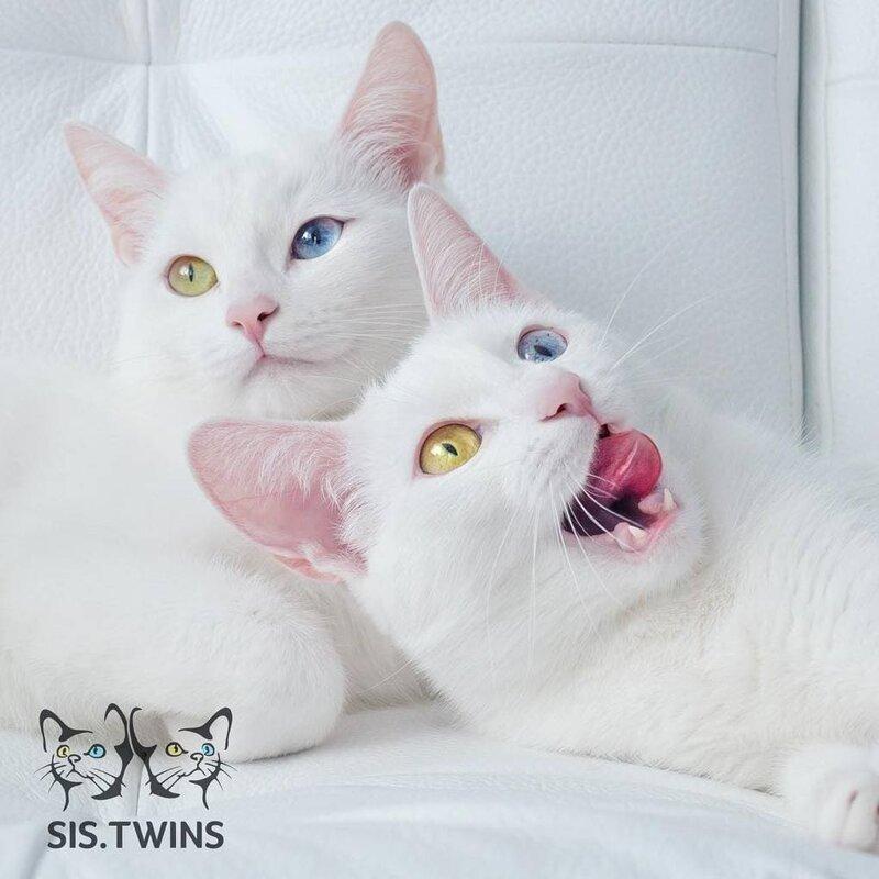 Они обе очень любят позировать для фотографий Абисс, Айрис, глаза, кошка, красота, окрас