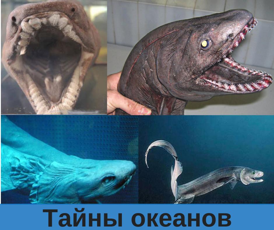 Плащеносная акула. Верхнее правое фото взято с аккаунта http://instagram.com/rfedortsov_official_account