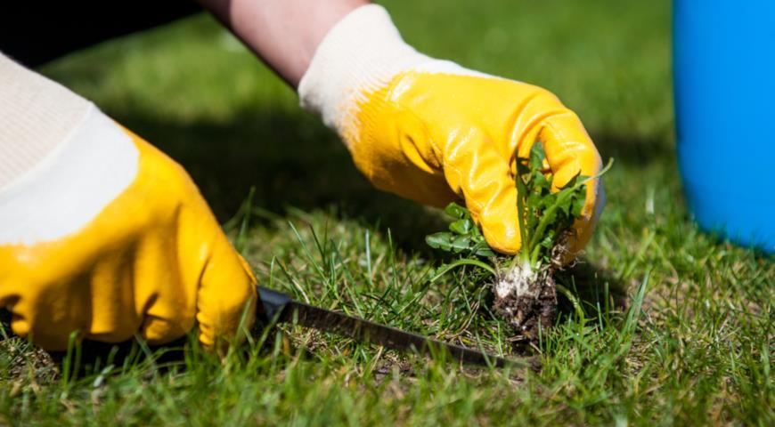 Как избавиться от одуванчиков и других сорняков раз и навсегда