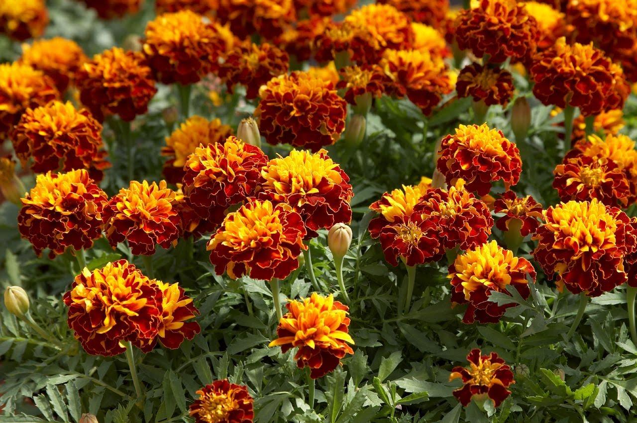 Фото цветов которые растут на клумбах