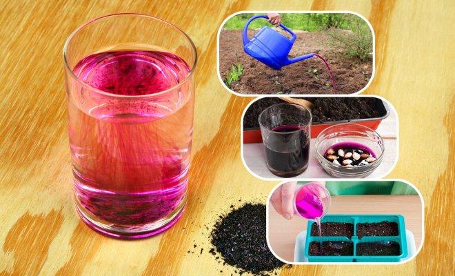Марганцовка: 14 необычных способов применения в саду, огороде и цветнике