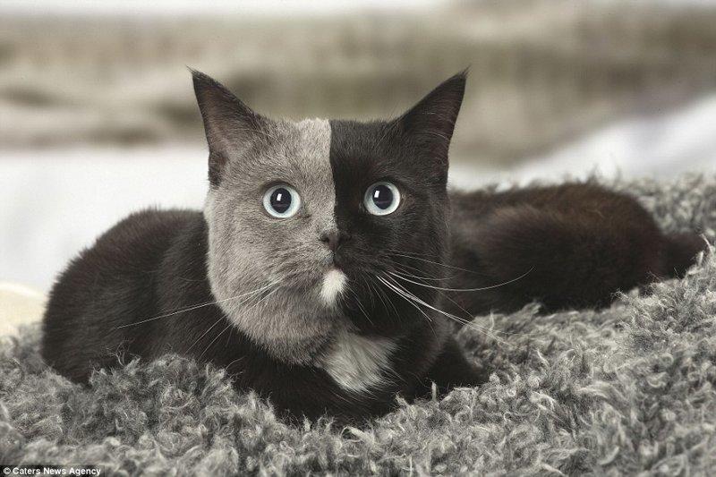 """Новая звезда сети: """"двуликая"""" кошка из Франции с уникальным окрасом"""