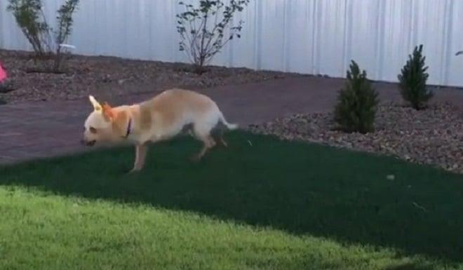 Собака с тремя лапами