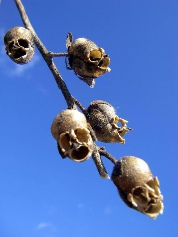 Нет, это не человеческие черепа, а всего лишь высохшие цветки львиного зева мрачно, мрачные шутки, необычно, необычные картинки, необычные фотографии, природа, пугающе, фото