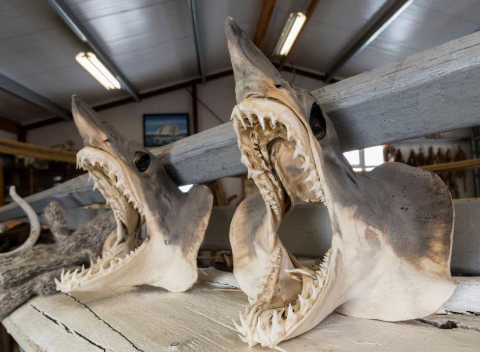 Первым делом акул потрошат и отрезают им головы