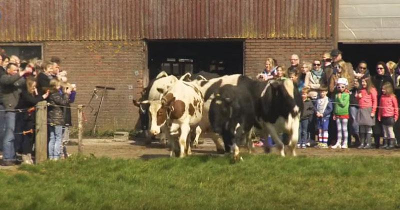 Коровы полгода находились взаперти. Посмотрите на их реакцию, когда их выпустили на улицу!