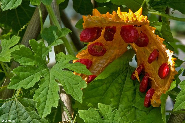 раскрывшийся плод момордики