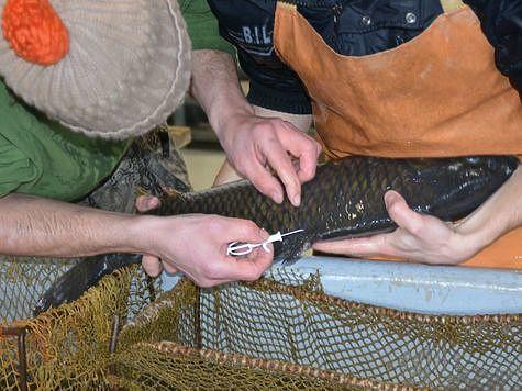 Карповые рыбы теперь с чипами