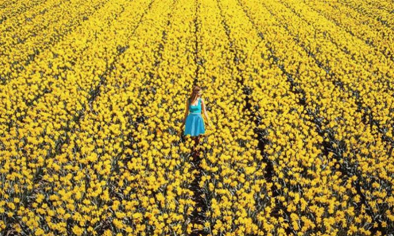 Тюльпанные поля Голландии