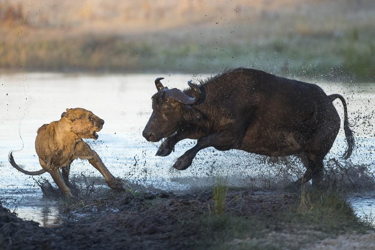 Как буйволы отбили теленка у голодной львицы животные.