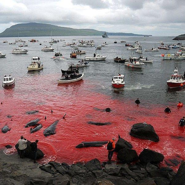 Остановите это безумие! В Дании вновь устроили массовый забой чёрных дельфинов